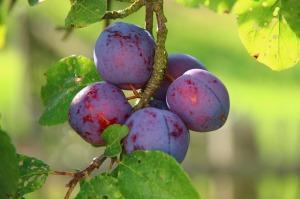 plums-276075_640