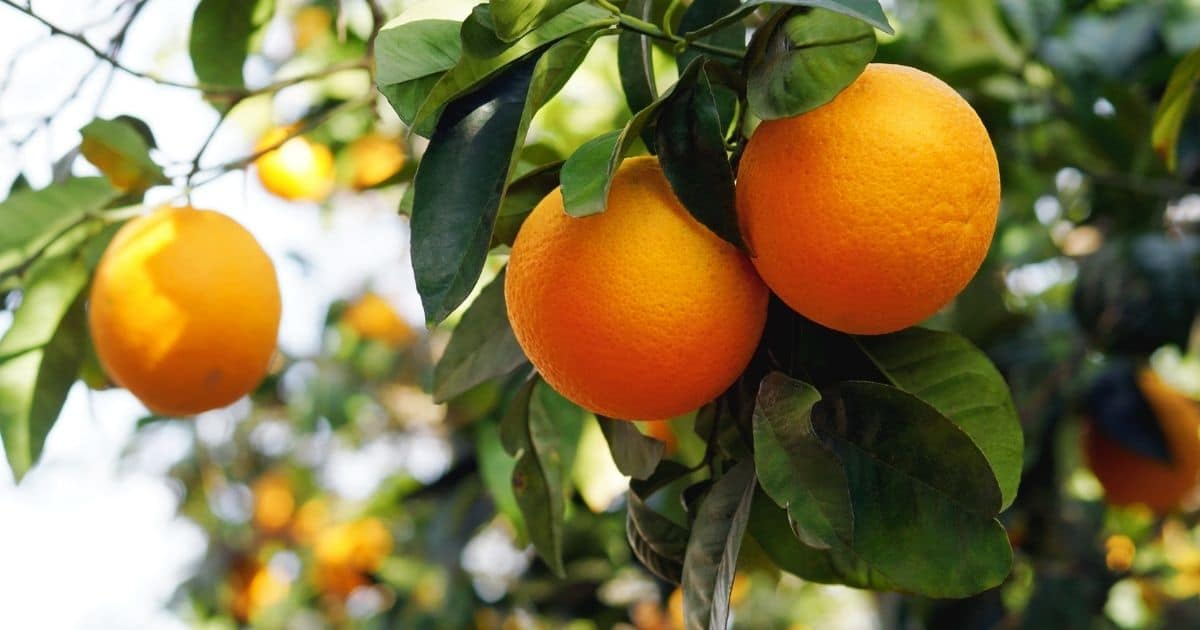 An image of fresh, succulent oranges hanging on the tree