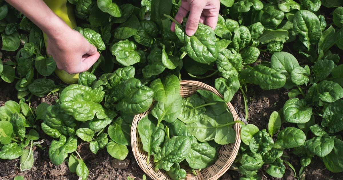 Spinach leaves being picked form the garden